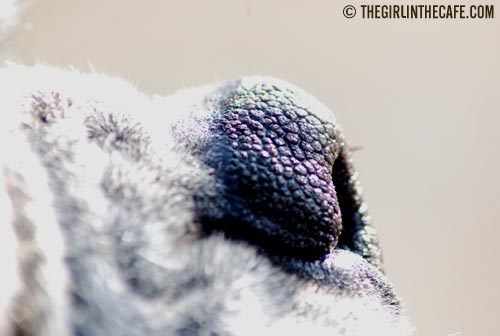 A dog's nose