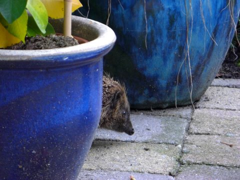 Gijs the Hedgehog - enters the scene