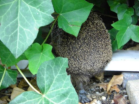 Gijs the Hedgehog - leaving the scene